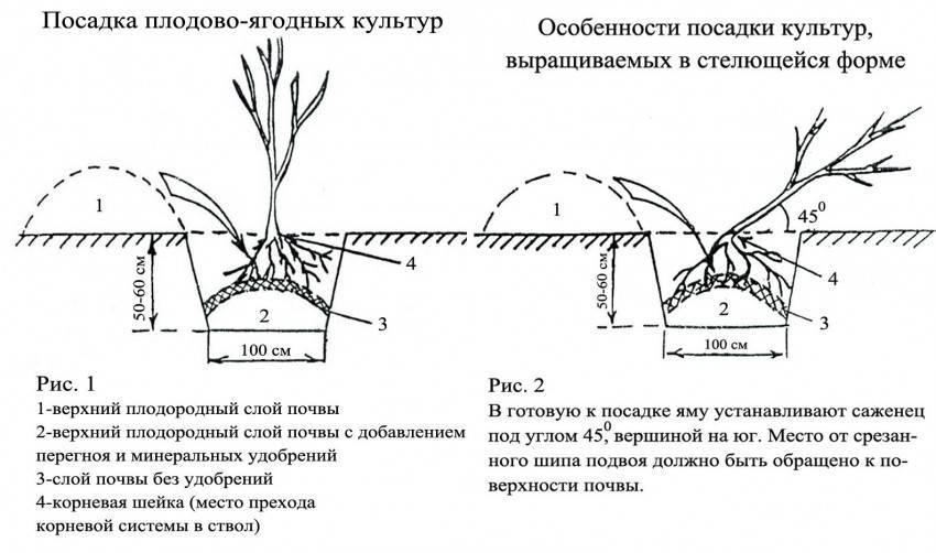 Агапантус, посадка и уход в открытом грунте