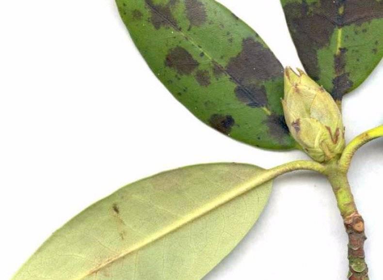 Почему у рододендронов пожелтели листья и что с этим можно сделать