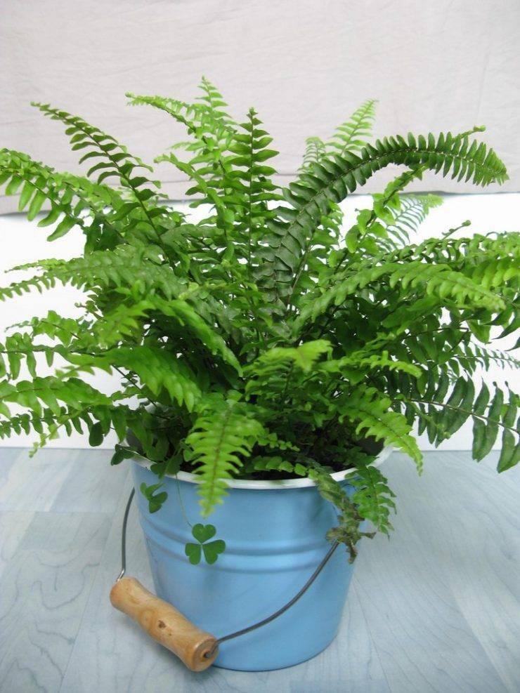Вечнозеленый комнатный папоротник: уход в домашних условиях, сорта многолетнего растения для выращивания в горшке
