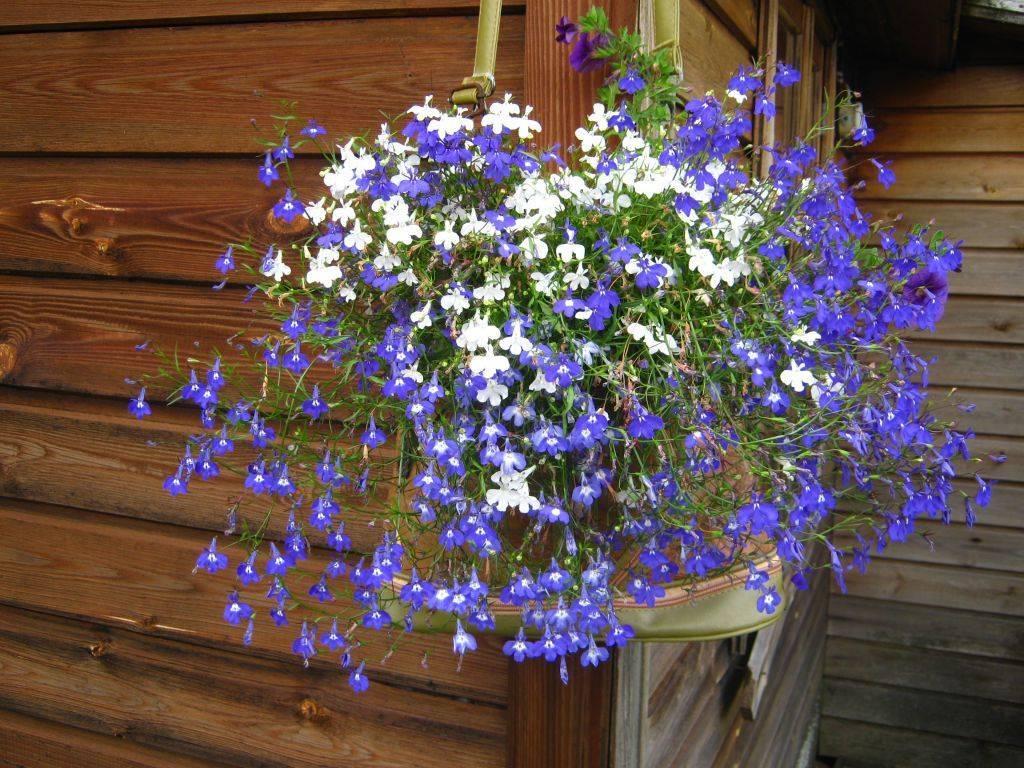 Лобелия ампельная: описание, виды и правила выращивания из семян