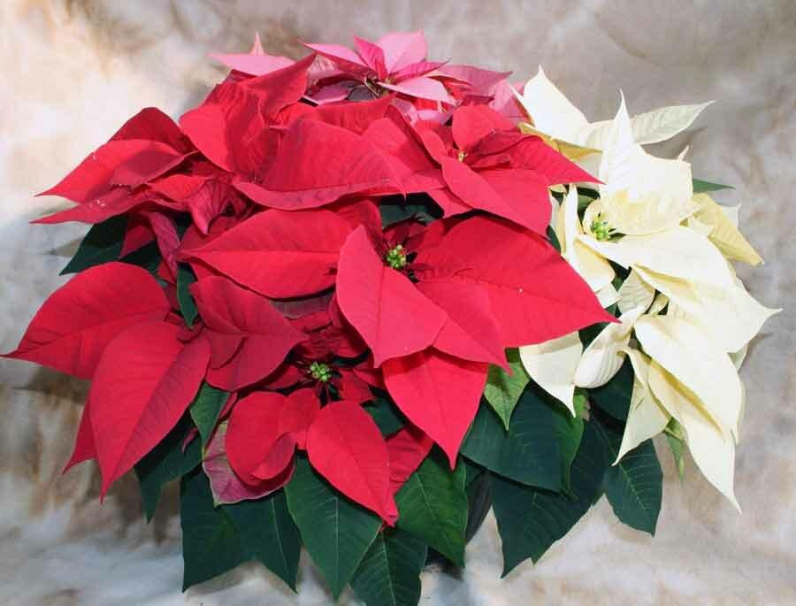 Рождественский цветок пуансетия: уход в домашних условиях