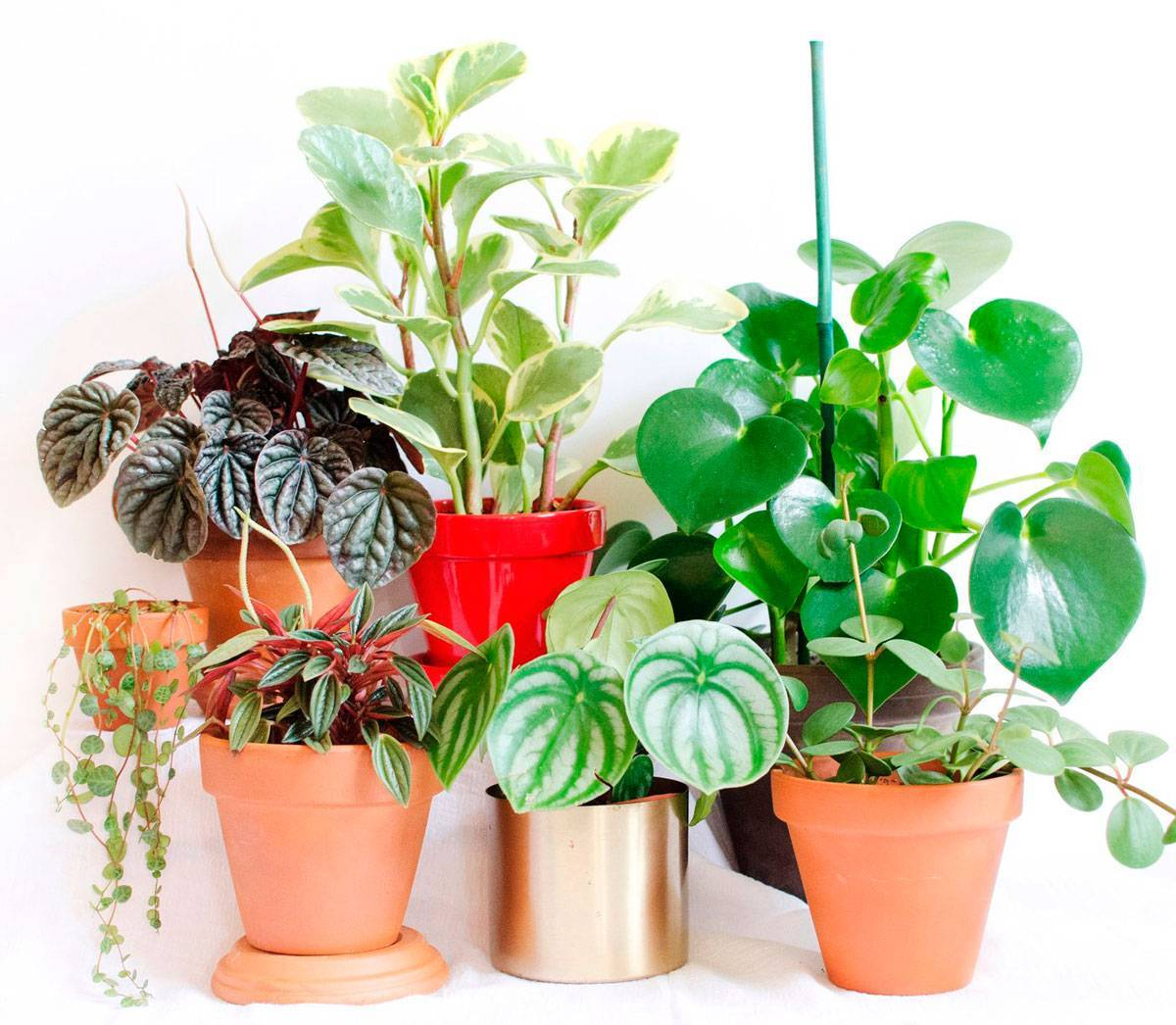 Цветение, уход в домашних условиях и обрезка пеперомии туполистной