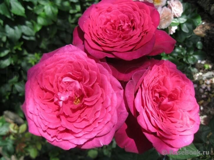 Роза Иоганн Вольфганг фон Гете (Johann Wolfgang von Goethe) — что это за сорт