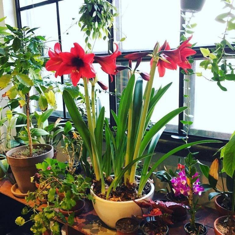 Способы, правила и нюансы орошения гиппеаструма. как поливать растение во время цветения?