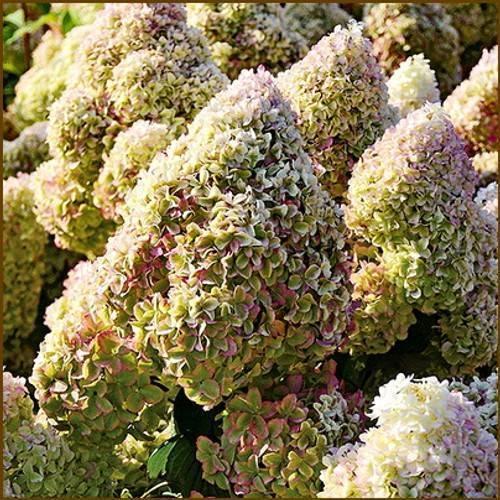 Посадка гортензии в сибири и уход за растением в открытом грунте. подходящие сорта