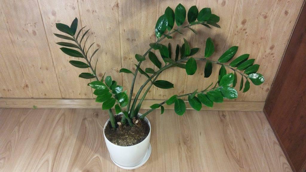 Правила ухода в домашних условиях за замиокулькасом (долларовым деревом): как поливать, чем подкармливать и многое другое