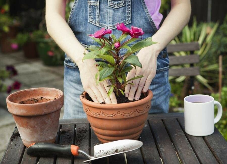 Как ухаживать за цветком куфея иссополистная, динамит, огненно-красная, геля