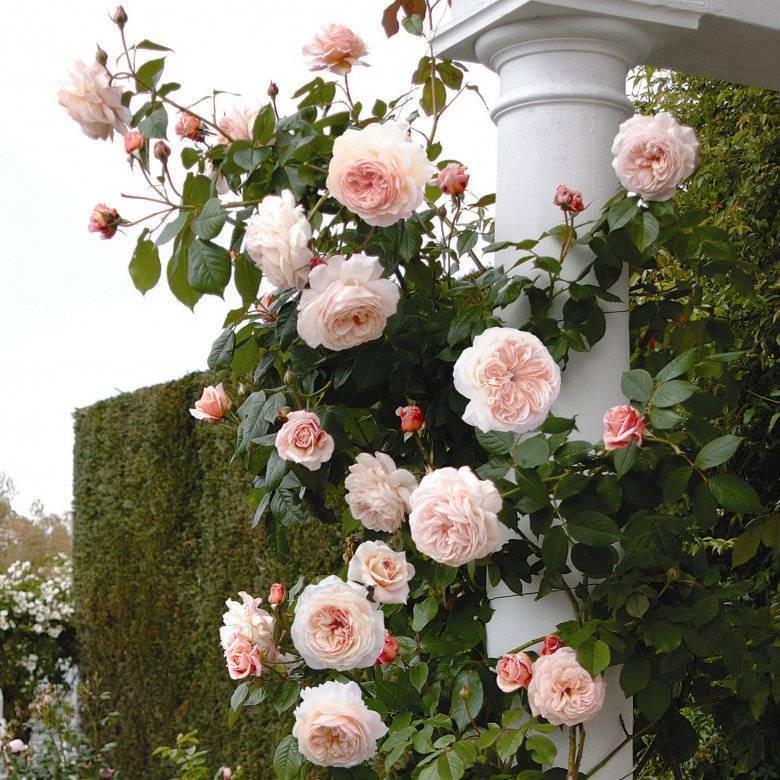 Розы Дэвида Остина — самые популярные сорта