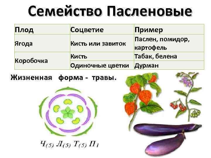 Растения вида паслёновых: какой представитель самый известный, список вредных растений