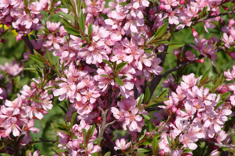 Миндаль кустарник — декоративное цветущее растение