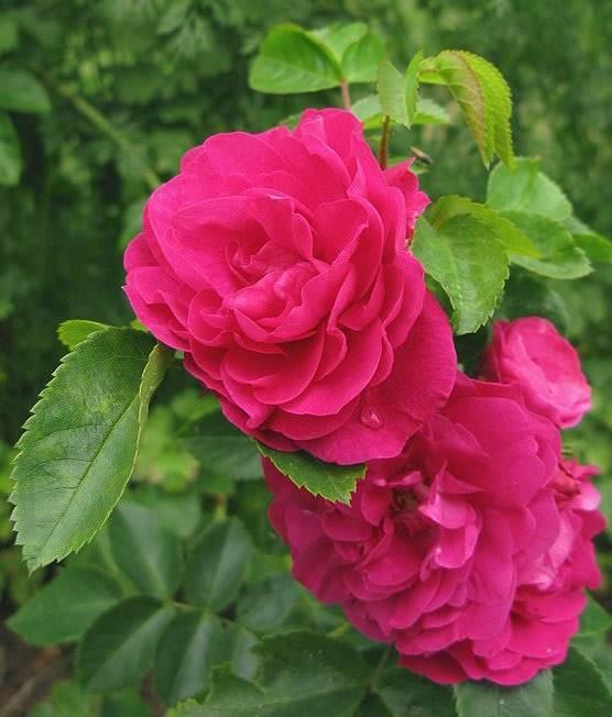 Сорта плетистых роз и виды с фото, описанием и названиями: метанойя, парад, элен, алоха, вильям баффин, джон кэбот, генри келси, алхимист, мишка, канадские и другие