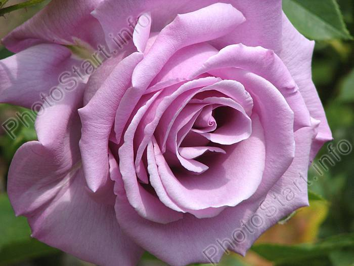 Голубые розы — мечты и воплощения