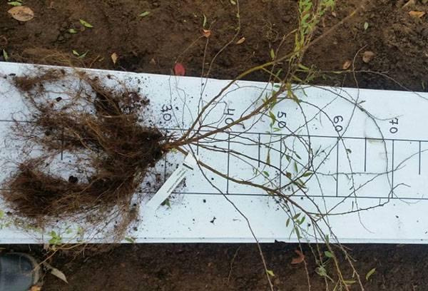 Спирея серая: сорта, посадка и уход в открытом грунте