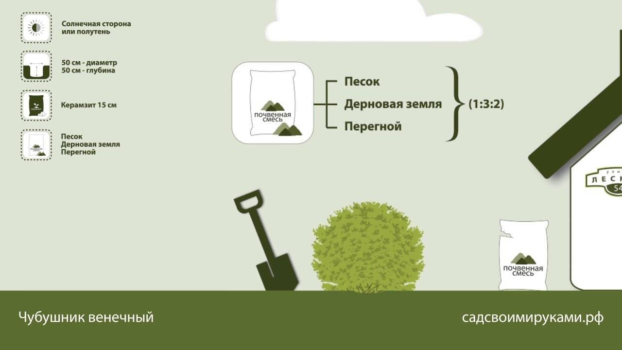 Чубушник садовый жасмин посадка и уход в открытом грунте размножение черенками