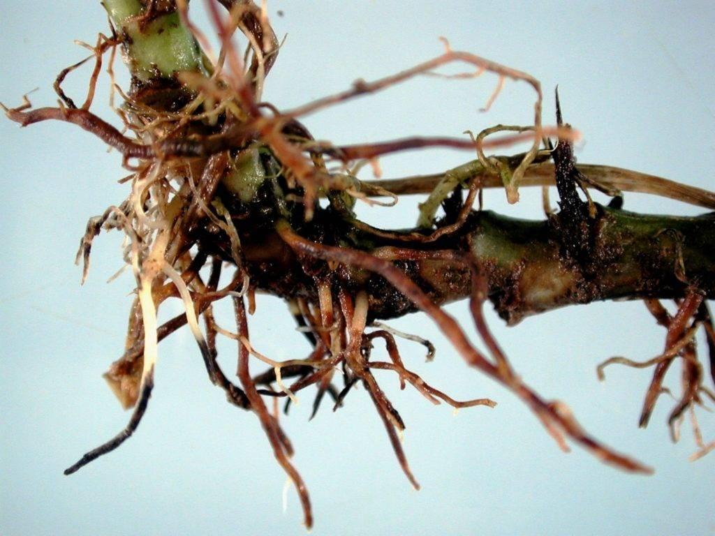Почему азалия сбрасывает листья и что делать в такой ситуации?