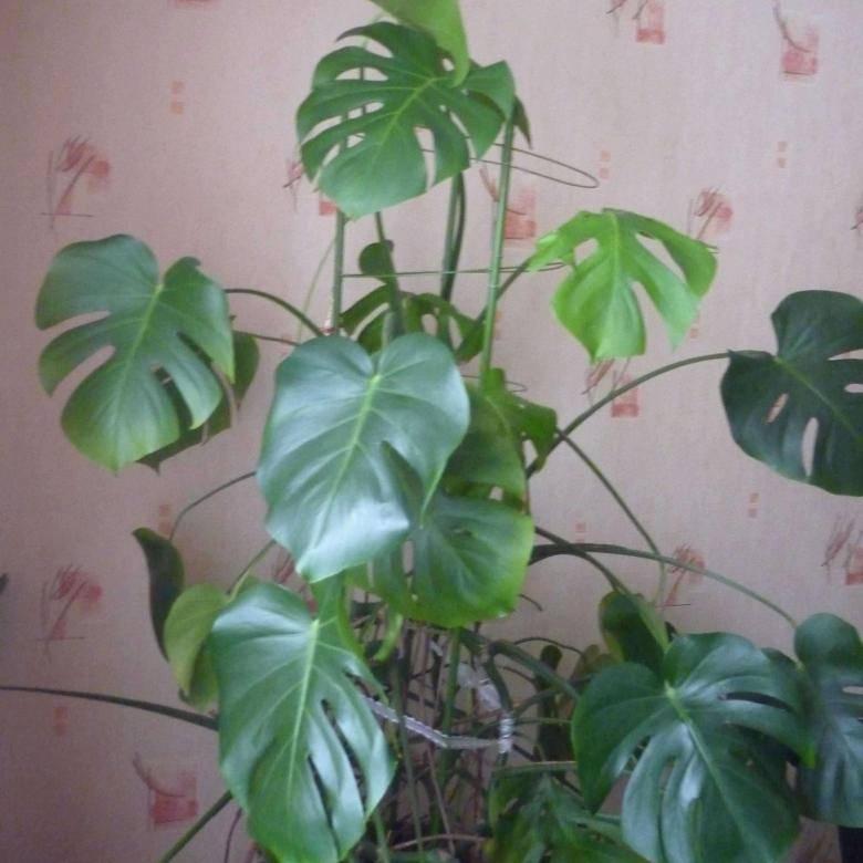 Уход за монстерой в домашних условиях: почему желтеют листья у монстеры