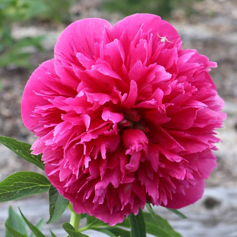 Период цветения пионов: какая продолжительность, на какой год, когда отцветают
