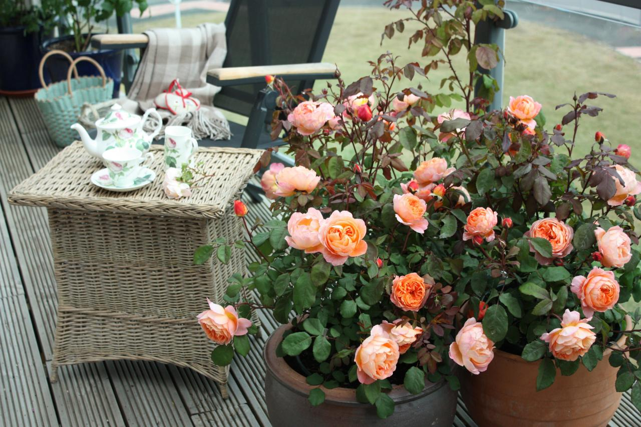 Роза клод брассер (claude brasseur) — характеристики сорта