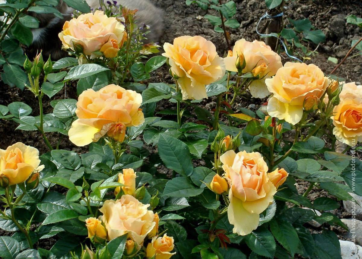 Роза флорибунда амбер квин - описание, аротехника, фото, советы | о розе