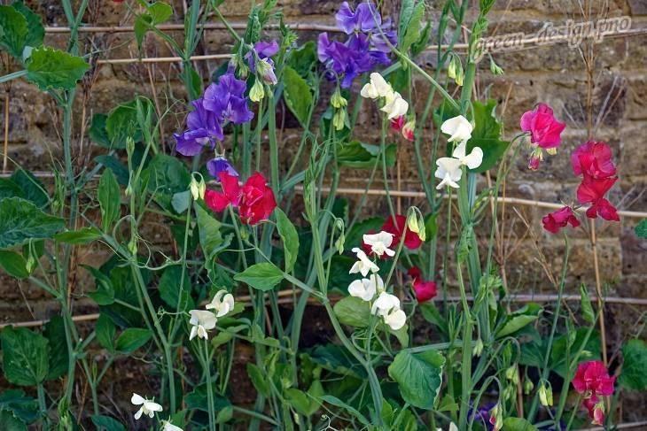 Выращивание душистого горошка многолетнего: посадка, уход и подкормки