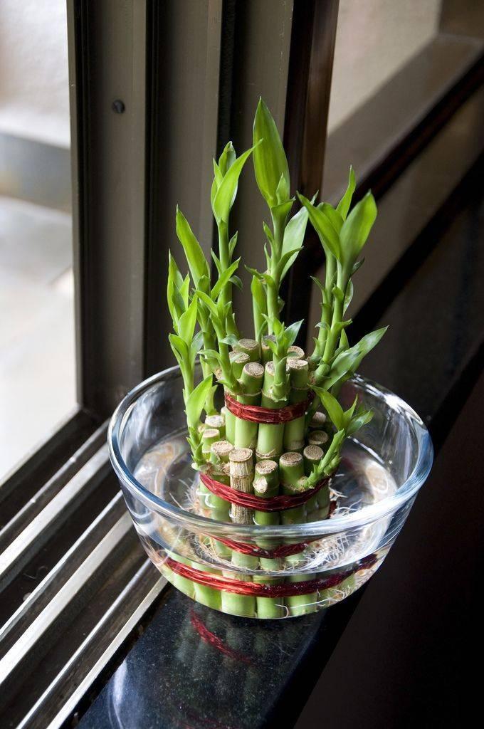 Комнатное растение бамбук: уход, особенности выращивания, размножение