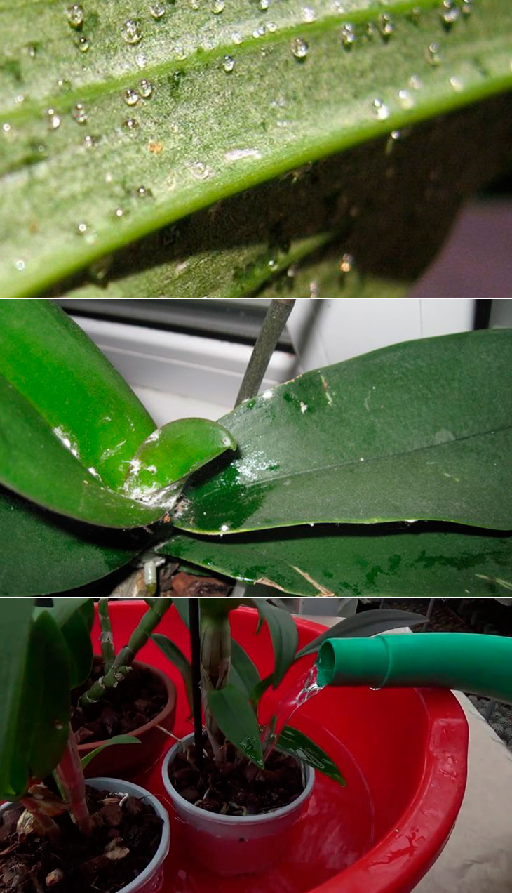 Липкие листья у орхидеи: фото, а также разъяснение, почему появляются капли, растение покрывается пятнами или белым налетом и что делать для лечения болезни?