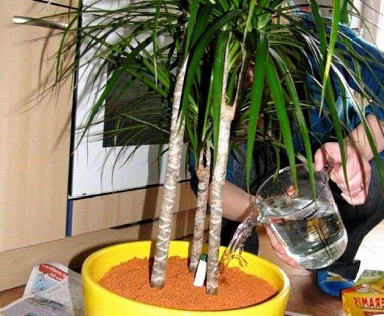 Драцена маргината — как посадить и ухаживать