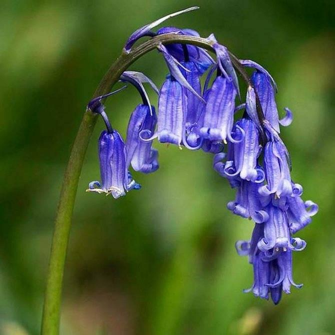 Ампельные импатиенсы — цветок, посадка и уход