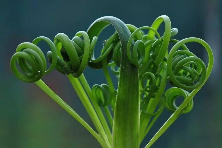 Альбука спиральная - растение с «завивкой»