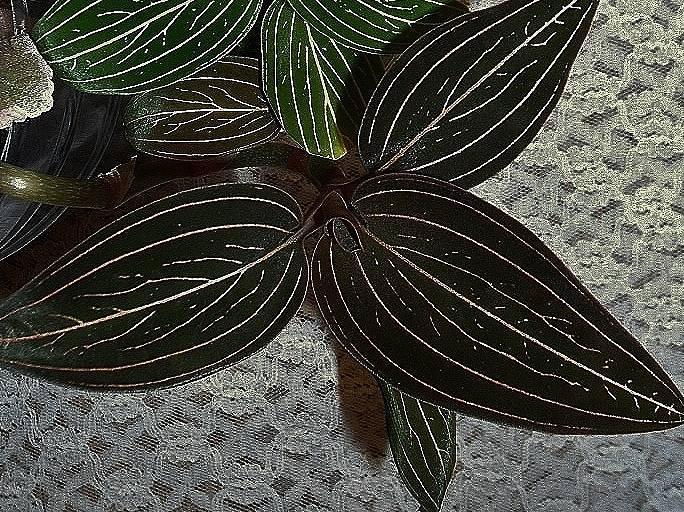 Как ухаживать за драгоценной орхидеей лудизией