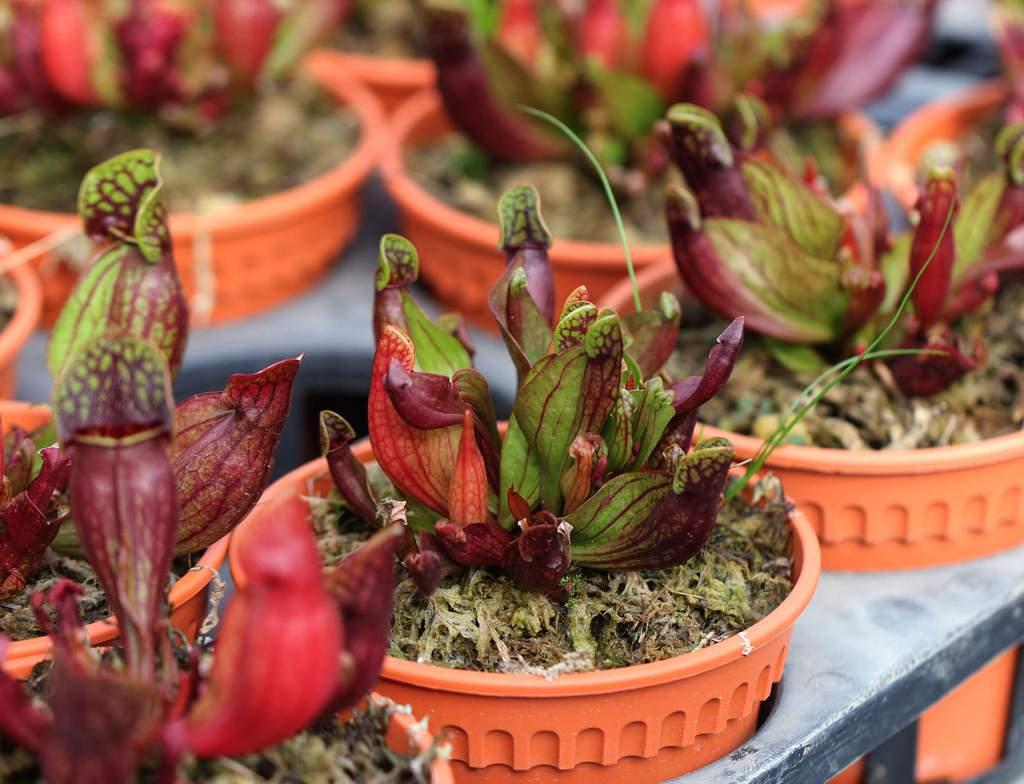 Уход за сарраценцией в домашних условиях: чем кормить пурпурную мухоловку