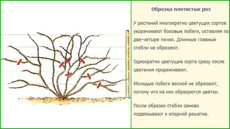 Форзиция: посадка и уход в открытом грунте | весьогород.ру
