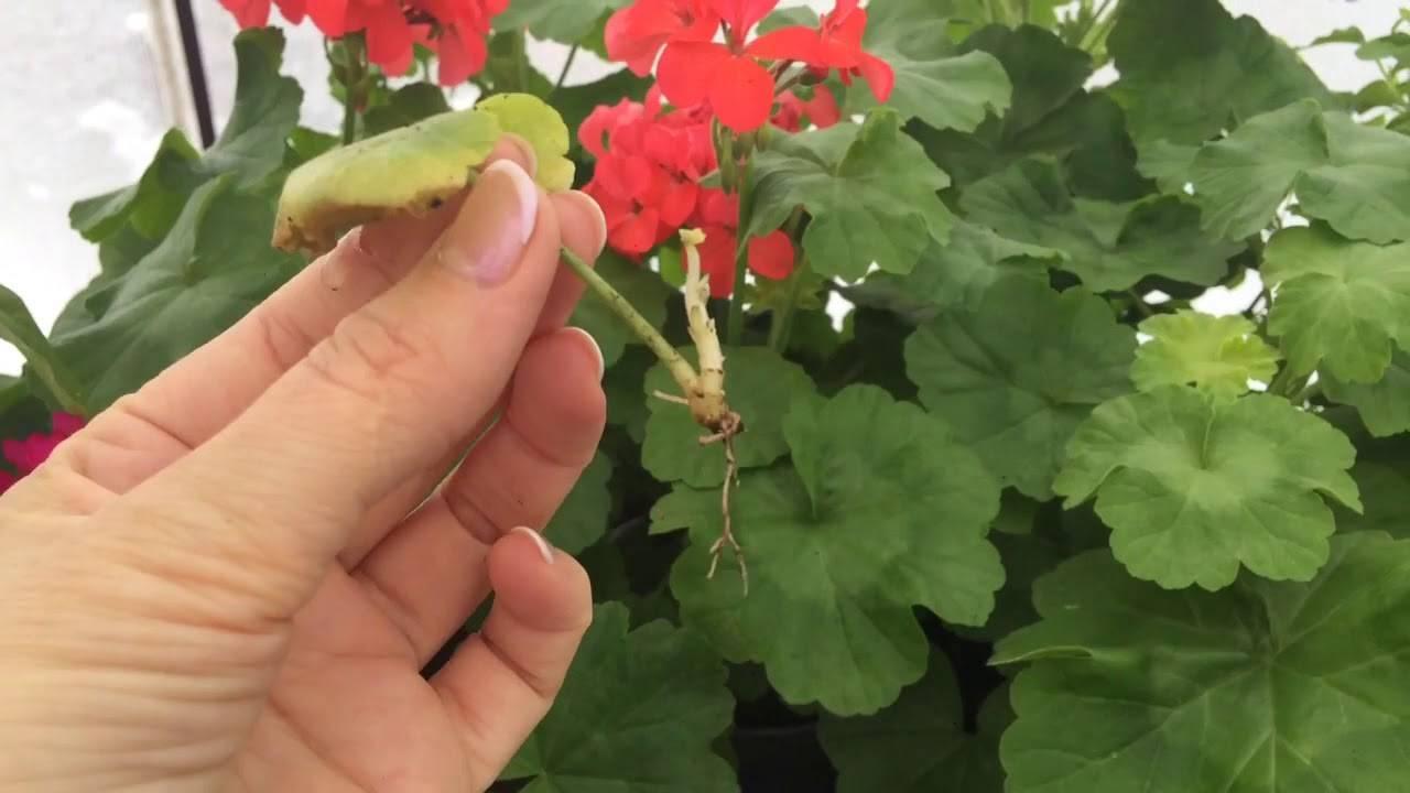 Размножение герани черенками и отростками: как разводить королевскую пеларгонию