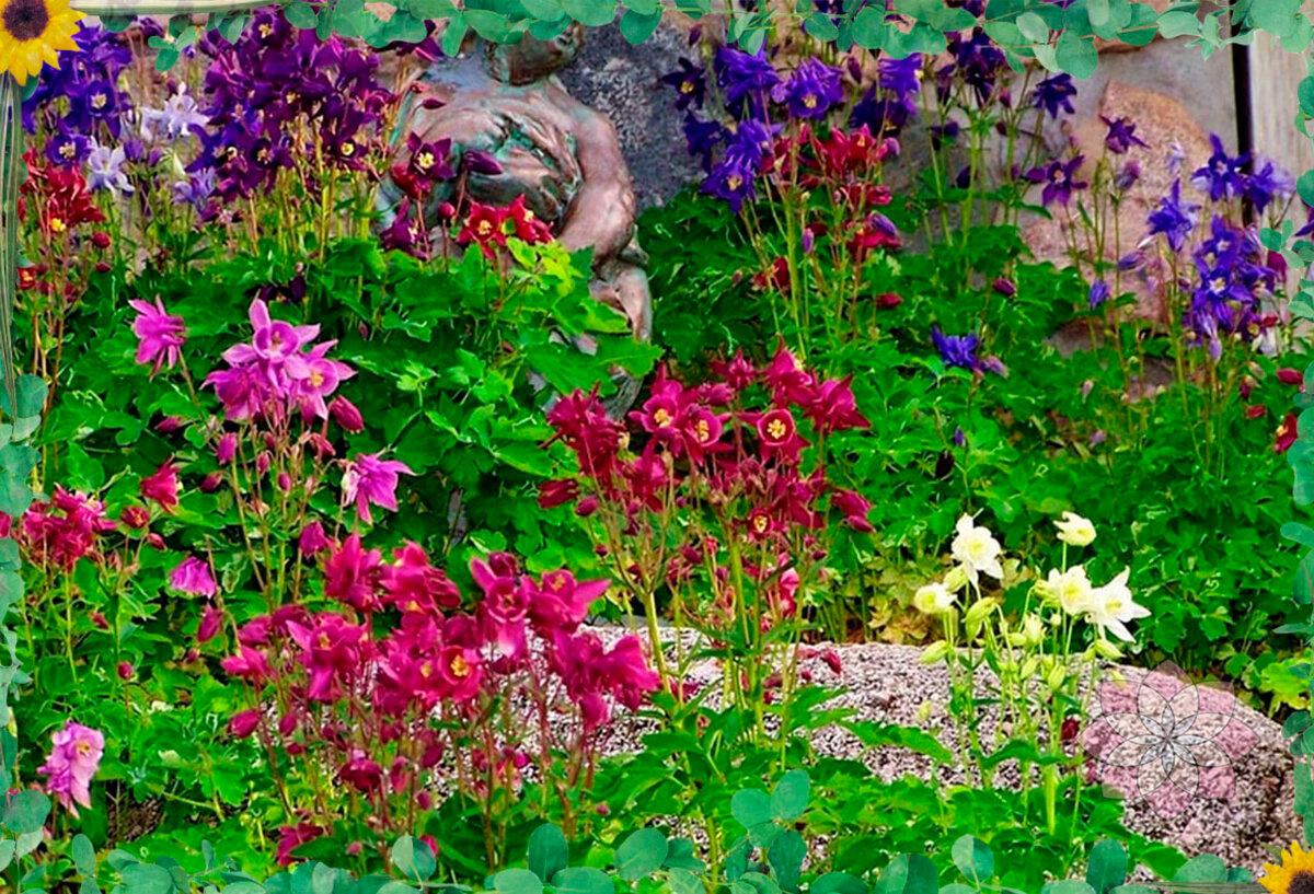 Виды и сорта аквилегии (48 фото): аквилегия темная, водосбор золотистоцветковый, альпийская и скиннера, канадский и золотистый