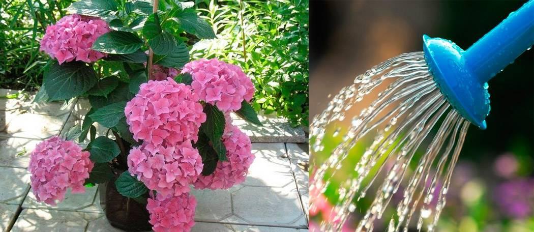 Гортензия садовая: посадка и уход в открытом грунте, фото, почва когда пересаживать цветы весной