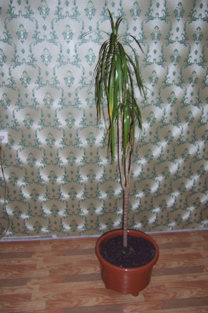 Красивая драцена: как правильно обрезать и какой уход растению нужен после этого?