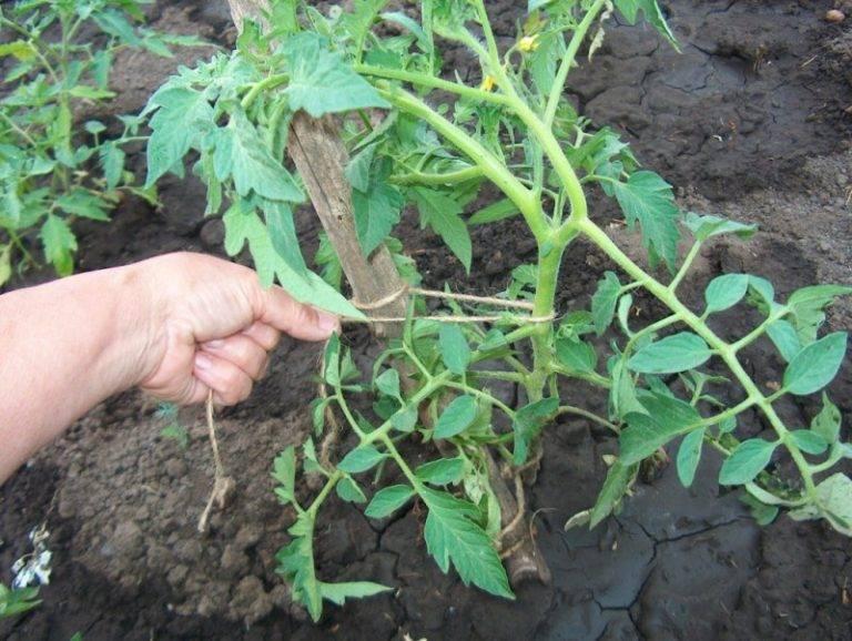 Как формировать помидоры в теплице и открытом грунте