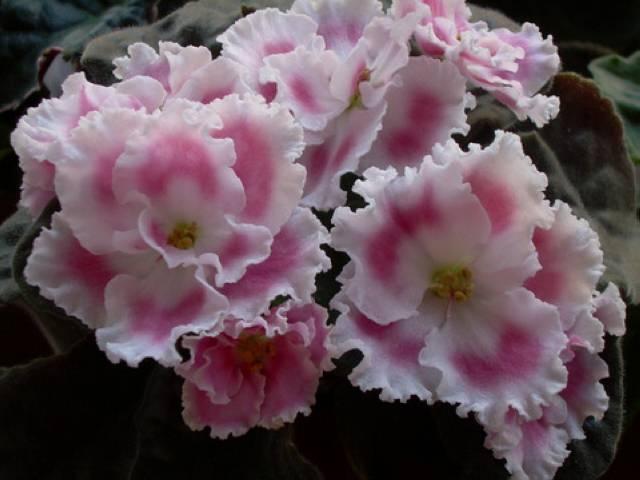 Фиалка морозная вишня — описание и характеристики сорта