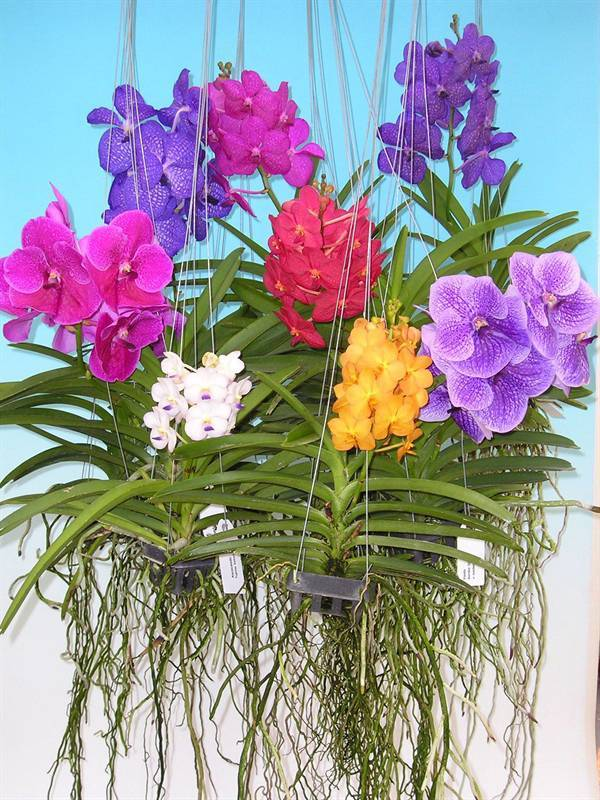 Выращивание орхидеи ванда в домашних условиях уход в стеклянной вазе и с открытыми корнями