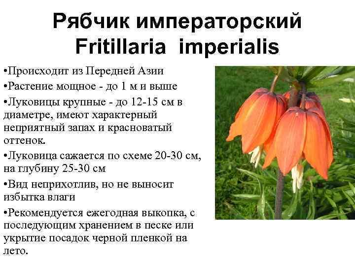Когда сажать рябчики: посадка осенью или весной
