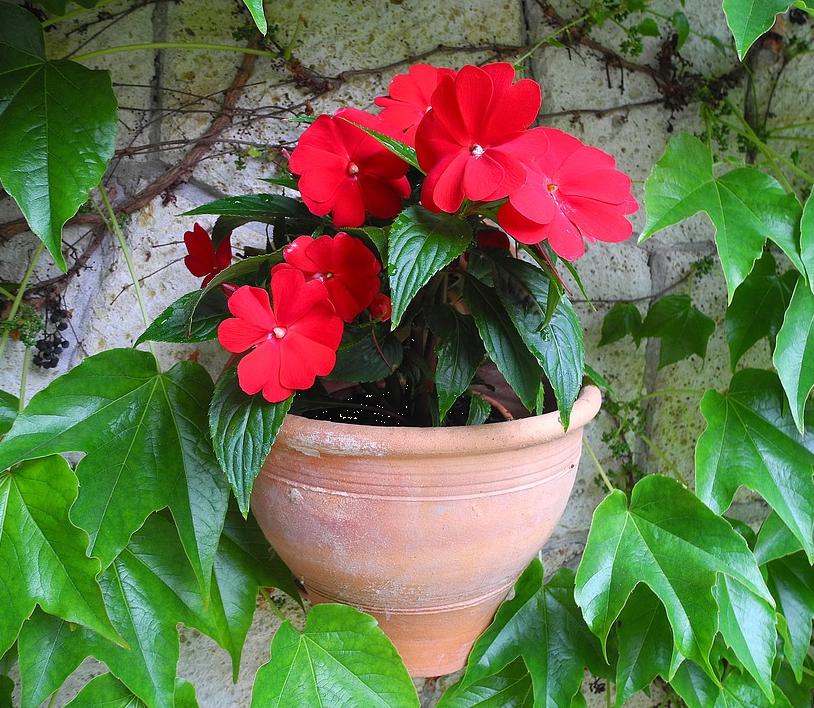 Бальзамин новогвинейский — выращивание дома и в саду