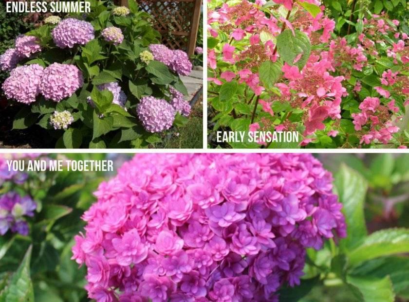 Гортензия садовая: посадка и уход за цветами