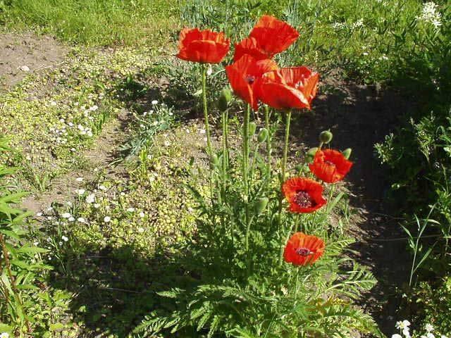 Примула мелкозубчатая — как выращивать дома