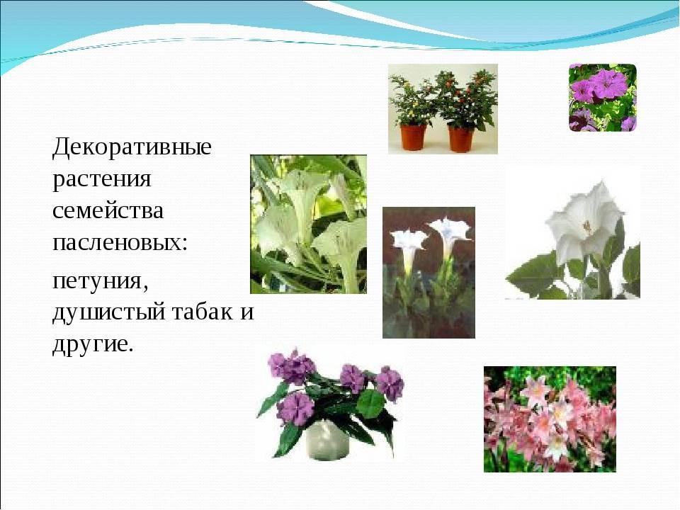 Список овощей, относящихся к пасленовым культурам, овощи семейства пасленовых