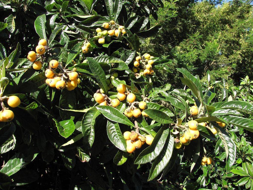 Когда в сочи созревает мушмула: как цветёт дерево и поспевают фрукты