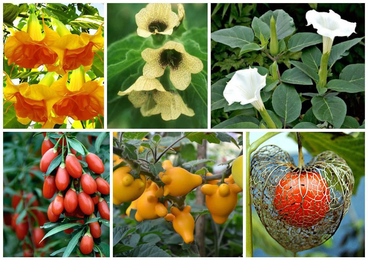 Пасленовые растения: список культур и их характеристики