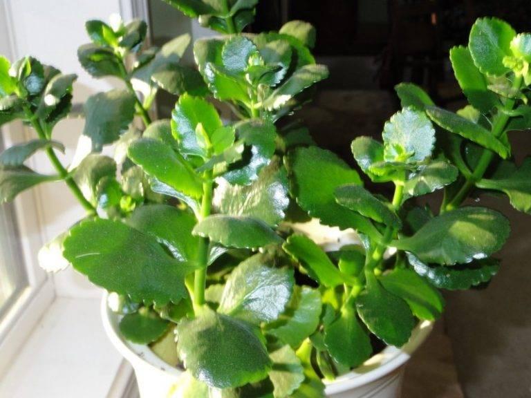 Каланхоэ цветущее: почему не цветет в домашних условиях? как заставить растение цвести?
