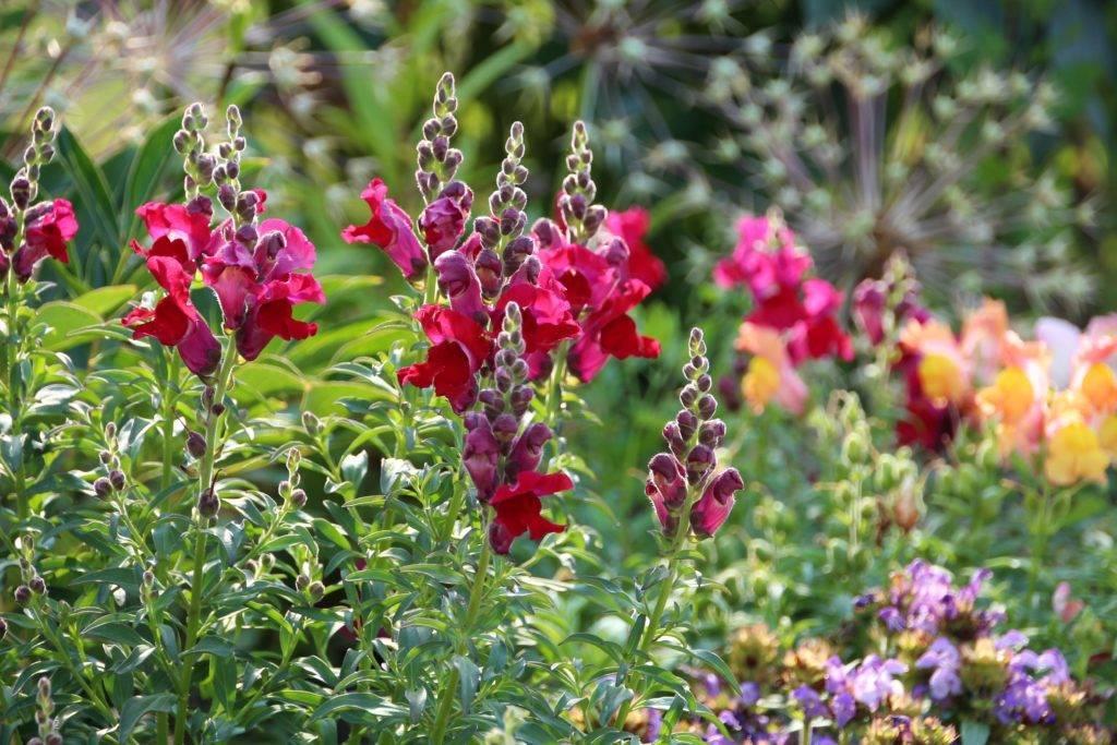 Весна – время сеять львиный зев. за что садоводы любят этот цветок?