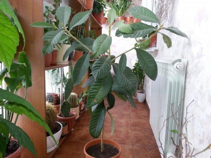 Мушмула в домашних условиях: как растёт фрукт в квартире