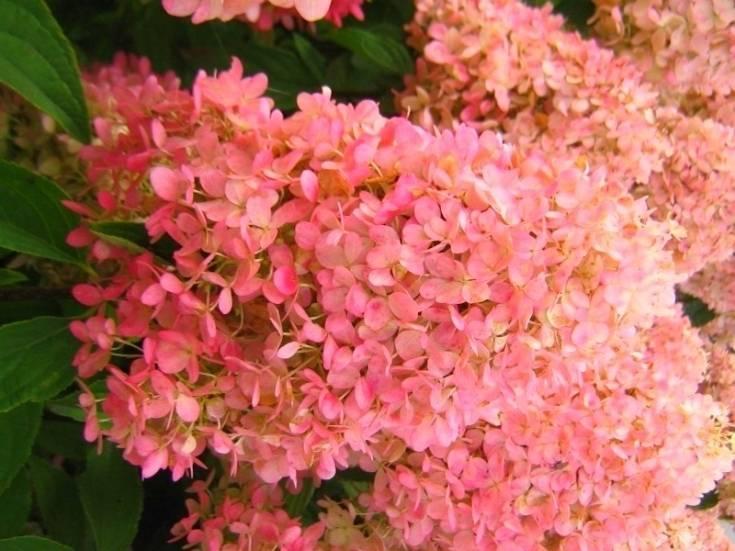 Гортензия мэджикал файер — описание и выращивание сорта в открытом грунте
